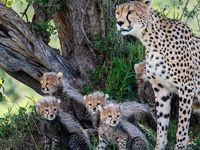 هفت توله زنده یک یوزپلنگ در حیات وحش +عکس