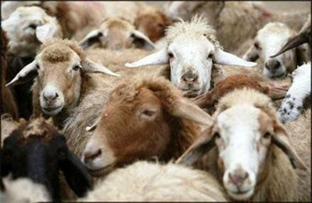 گوسفندان از گمرک ترخیص شدند
