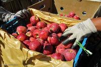 برداشت سیب از باغات ارومیه +عکس