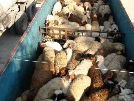 قاچاق دام متاثر از نوسان نرخ ارز در منطقه است