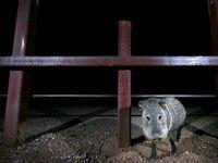 عبور حیوانات وحشی از دیوار مرزی آمریکا و مکزیک
