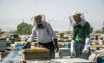 برداشت عسل را از نزدیک ببینید +عکس
