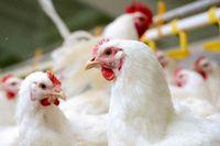قول وزیر درباره ثبات بازار مرغ/ فشار زیادی روی تولیدکنندگان تخممرغ هست