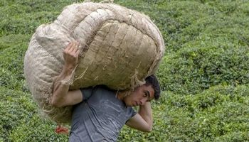 پایان خرید برگ سبز از چایکاران/ هنوز حدود 1000تن برگ سبز چای بر روی دست کشاورزان مانده است