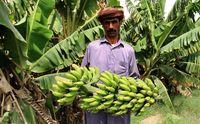 توسعه کشت آناناس، موز و انبه در سواحل مکران