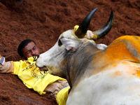 فستیوال مبارزه بدون سلاح با گاو وحشی در هند +تصاویر