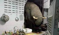 ورود فیل گرسنه به خانه ای در تایلند + فیلم