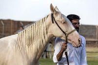 مسابقات ملی زیبایی اسب ترکمن +عکس