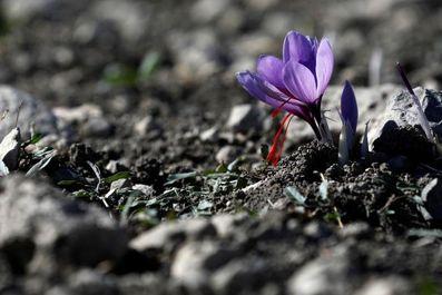 برداشت زعفران دریونان