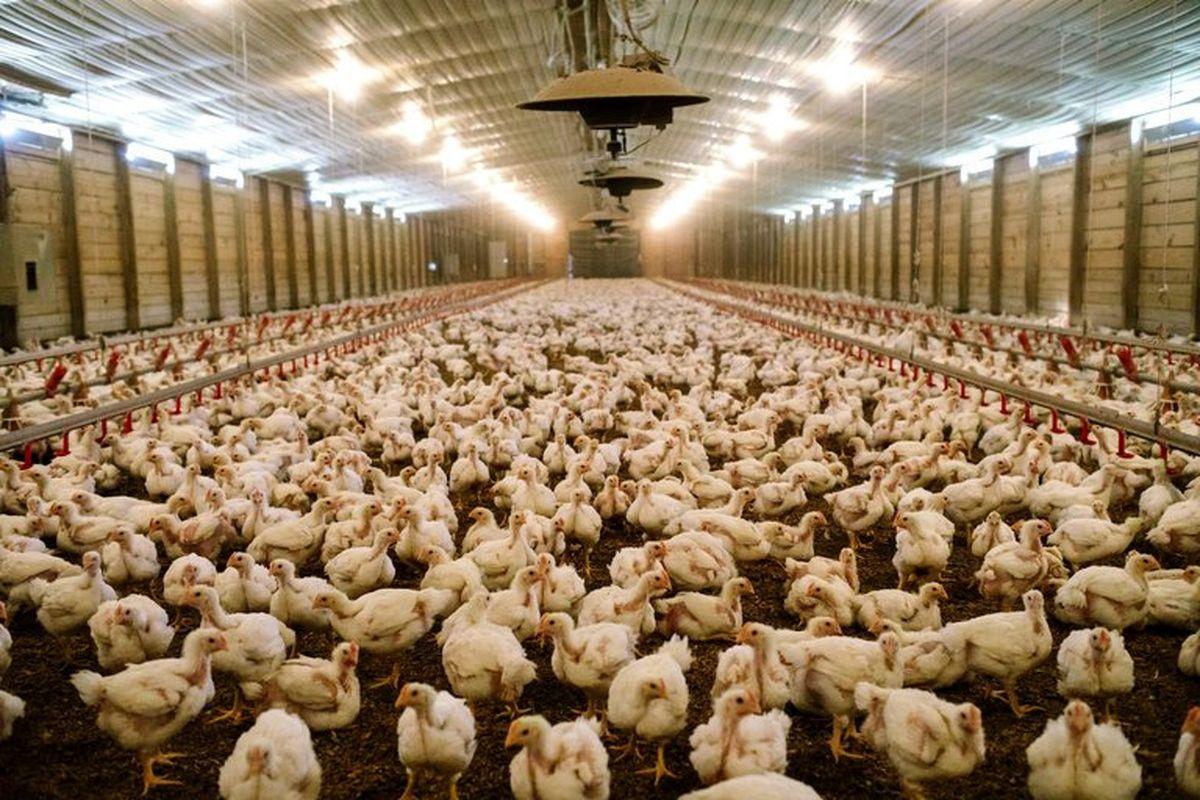 هشدار / نگهداری مرغ جریمه دارد!