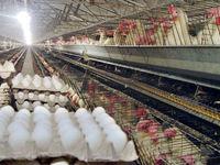 مرغ را افزایش قیمت جهانی خوراک گران کرد/ احتمال واردات تخم مرغ برای تعادل بازار