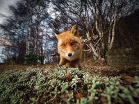 نگاه کنجکاو روباه به دوربین در عکس روز نشنال جئوگرافیک  +عکس