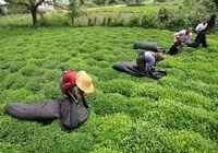 ادامه اقدامات فراقانونی وزارت صمت و زیان بخش کشاورزی/ چین و ویتنام درصدد تصاحب سهم ایران از بازار جهانی چای
