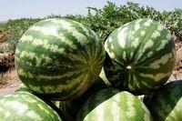 ۷۲۴هزار تن؛ صادرات هندوانه در سال ۹۵