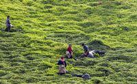 خرید تضمینی ۹۵میلیارد تومان برگ سبز چای در چین اول بهاره