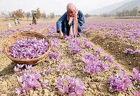 خرید حمایتی زعفران خراسان رضوی هفته جاری آغاز میشود