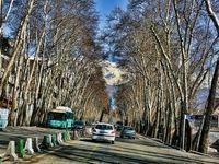 ابتلای درختان خیابان ولیعصر به قارچ سرطان رنگی/ آغاز فاز اول پروژه احیای درختان چنار ولیعصر