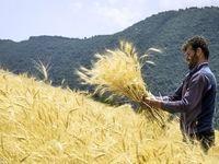 پاسخ به نیاز نانوایان آزادپز با عرضه گندم در بورس کالا