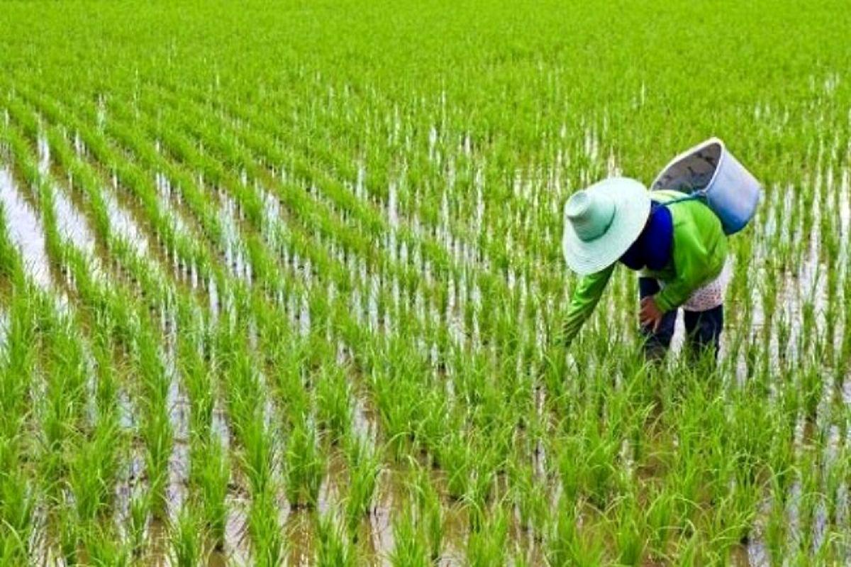 کشور ظرفیت آبی برای کشت بیشتر برنج را ندارد