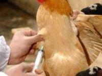تزریق 50میلیون دز واکسن آنفلوانزای مرغی در 12استان
