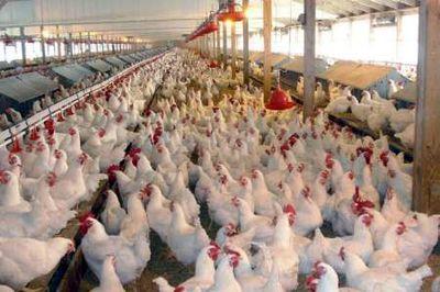 آنفلوآنزا هنوز به گوشت مرغ نرسیده است/ مرغداران پنهانکاری نکنند