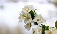 شکوفههای بهاری در زنجان +تصاویر