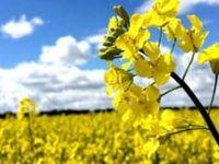 امسال دانههای روغنی از سامانه بازرگانی خریداری میشود