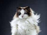اگر گربهها روی دو پا راه میرفتند! +تصاویر