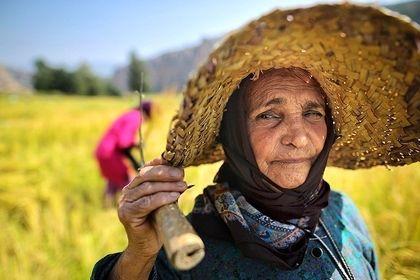 برداشت برنج در گلستان +تصاویر
