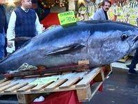 صید ماهی ۲۹۰ کیلویی در ترکیه +عکس