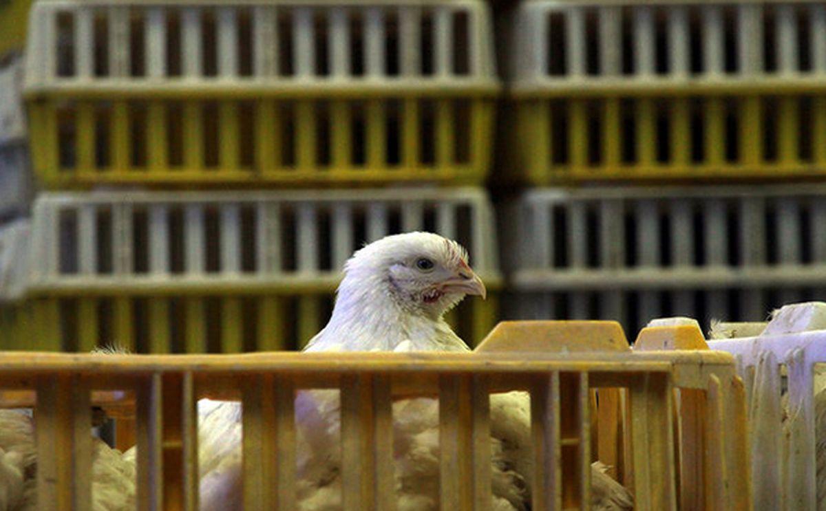 آغاز توزیع ویژه مرغ در استان تهران