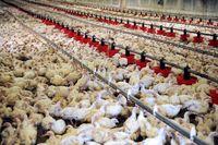 زیان 7000میلیاردی مرغداریهای کشور