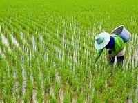 مدیریت ؛ نیاز امروز بازار برنج