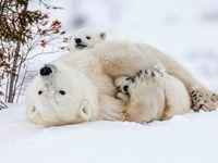خرس قطبی مادر عکس روز نشنال جئوگرافیک