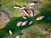 مرگ هزاران ماهی در سد +عکس