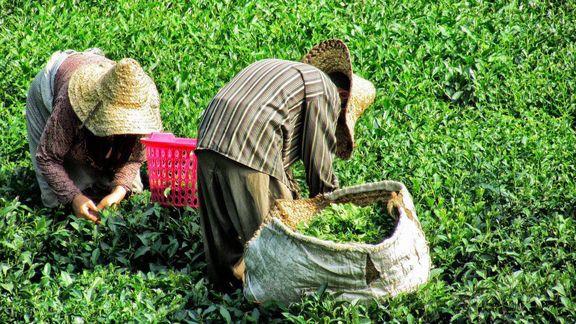 برداشت ۷۳هزار تن برگ سبز چای