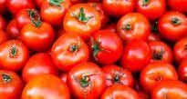 خرید حمایتی گوجهفرنگی از فردا در کرمان آغاز میشود