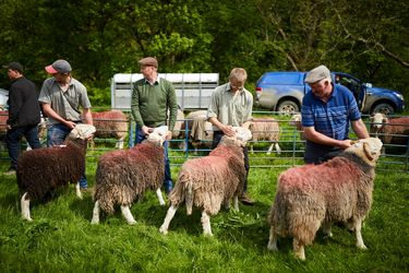 مسابقه انتخاب بهترین گوسفنتد در انگلیـس
