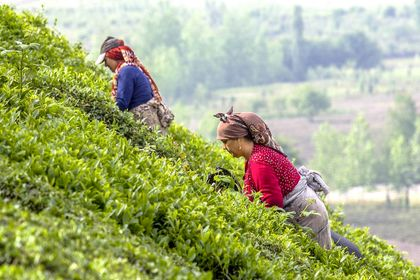 برداشت بهاره برگ سبز چای در لاهیجان +تصاویر