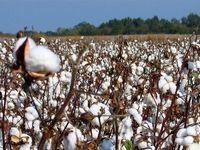 شرط خودکفایی کشور در تولید پنبه