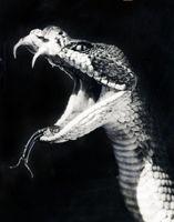 تصویری استثنایی از مار کبری