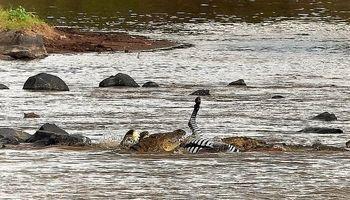 تکهتکهشدن گورخر توسط تمساحها +تصاویر