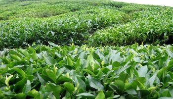 آخرین وضعیت بازار چای کشور/ تخصیص بخش سوم اعتبارات خرید برگ سبز چای