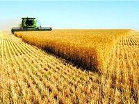 درخواست وزارت جهاد از گندمکاران؛وزارتخانه آماده تحویل گرفتن گندم است