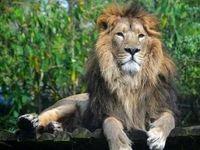 بازگشت شیر ایرانی به کشور پس از ۸۰ سال