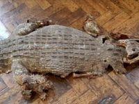 کشف بقایای یک تمساح در دبیرستانی در ولز +عکس