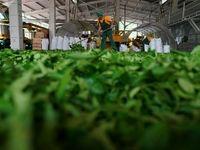 مزارع چای در روسیه +تصاویر