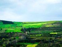 مزارع کلزا +تصاویر