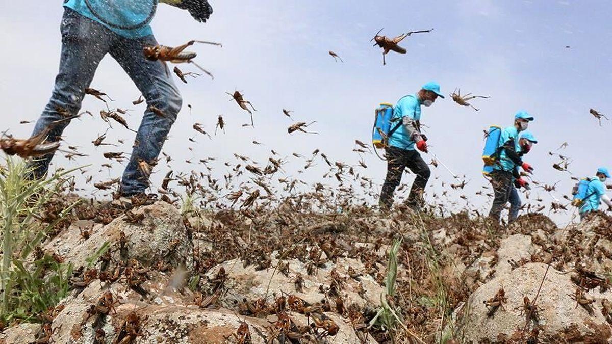 آخرین وضعیت ملخهای صحرایی مهاجم در کشور
