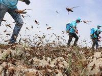 مبارزه با لشکرهای میلیاردی ملخ ها در 5 استان کشور